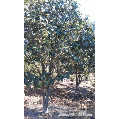 温州地区供应园林景观绿化用苗木:金桂.丹桂.四季桂冠幅1.5-8米