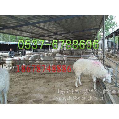 供应山东肉羊养殖基地 肉羊养殖场 肉羊养殖的地方