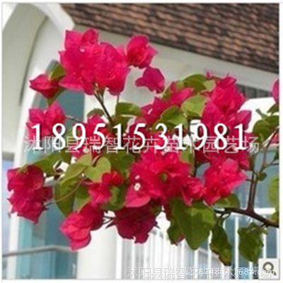 藤本三角梅盆栽苗木重瓣三角梅树苗 三角梅盆景当年开花 攀缘花卉