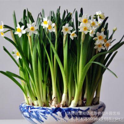 批发水培植物 水养水仙种球水仙球根 大球水生花卉 量多从优