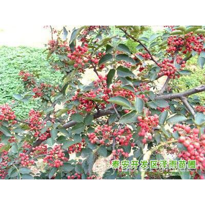 供应花椒苗哪里有,花椒苗价格,%大红袍花椒苗哪里有