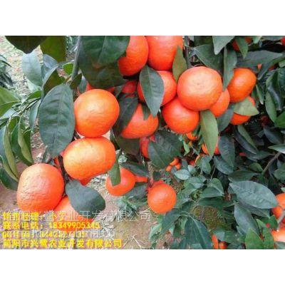 成都春见柑橘苗种植技术,成都春见柑橘苗管理技术