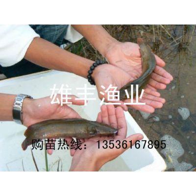 供应大量质优廉价塘虱鱼苗|本地塘虱鱼苗养殖|塘角鱼苗