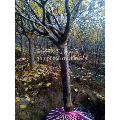 樱花树苗,便宜樱花出售,3公分樱花处理,樱花种植基地