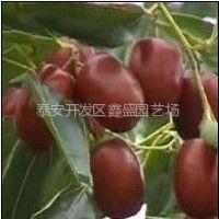 供应枣树苗|沾化冬枣、龙枣、梨枣、俊枣、慧枣、雪枣等