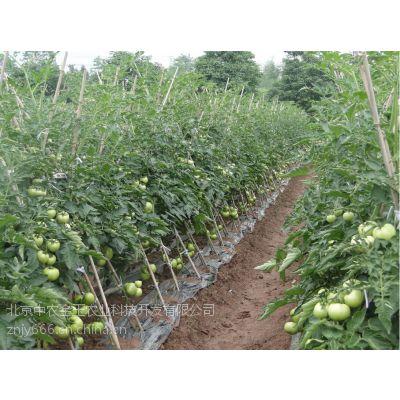 荷兰欧冠301-抗ty粉果番茄种子