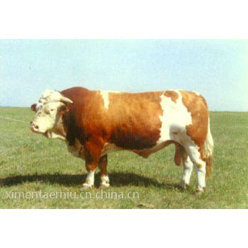 河北省大量优质西门塔尔牛出售 河北省西门塔尔牛养殖场电话