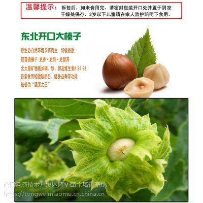 出售榛子树苗辽宁大果榛子苗熊岳榛子苗生产基地
