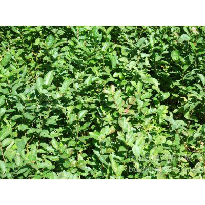 供应速生红花美国紫薇树苗红火箭红火球天鹅绒紫薇树苗