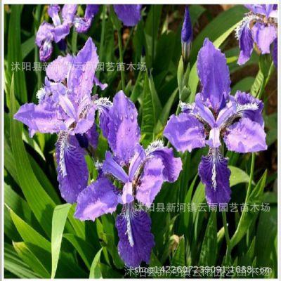 水生植物菖蒲 水生鸢尾 水生美人焦 蓝花鸢尾 批发水生花卉