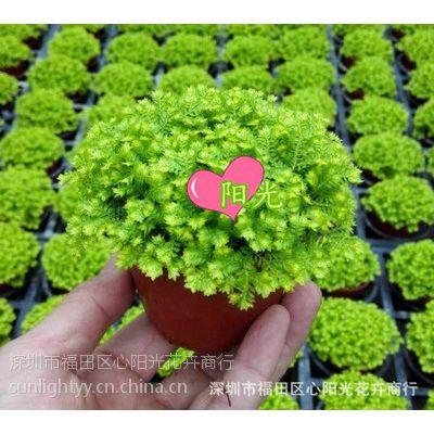 园林景观制作蕨类植物 户外绿化植物墙造景盆栽80#金丝雀蕨