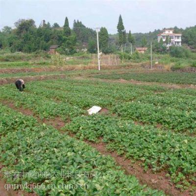 台州法兰地草莓苗、乾纳瑞农业科技、法兰地草莓苗基地