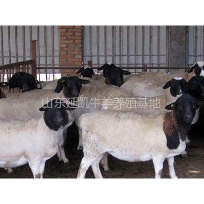 供应崇明波尔山羊种羊养殖总基地