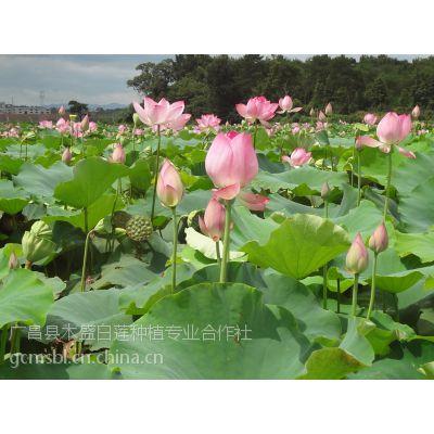 产地批发 高产籽莲种苗原种太空莲36号种苗亩产8000个莲蓬