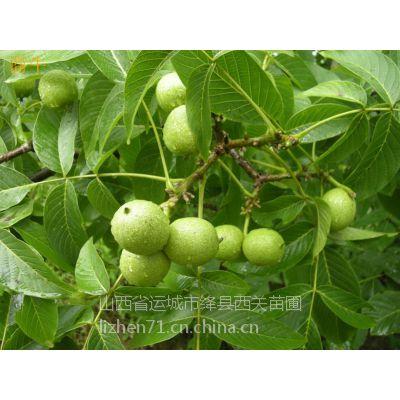 核桃苗3-10公分品种8518香玲辽核晋龙核桃树苗,绿舟苗木基地出圃