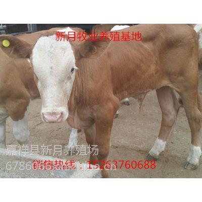 广东广州黄牛价格,小黄牛几个月可以出栏销售。