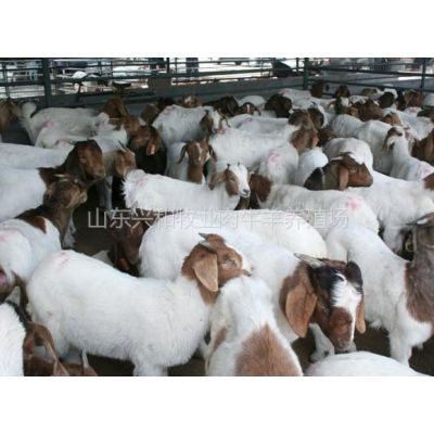 供应目前波尔山羊价格多少钱羊苗怎么卖的