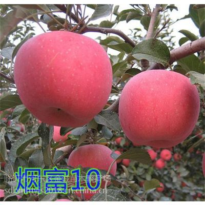 烟富10苹果苗,又名烟富0苹果苗,红肉苹果苗15063290888
