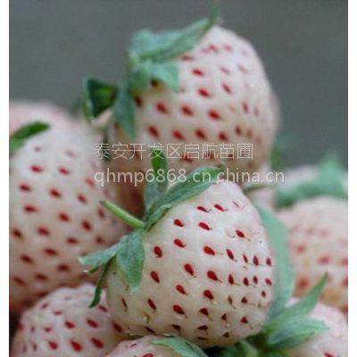 湖北哪里有白草莓苗,白草莓苗批发价格