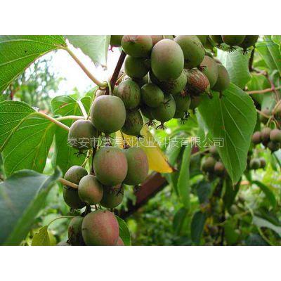 猕猴桃苗 软枣猕猴桃苗基地