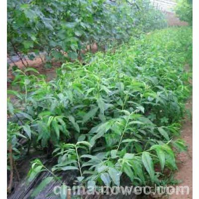 供应供应哪里有梨树苗,梨树苗什么品种,梨树苗哪里有
