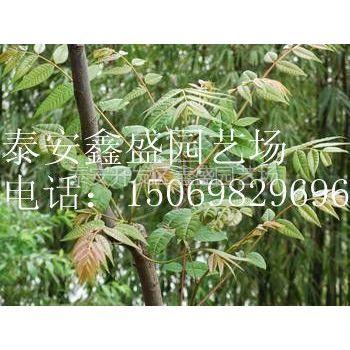 供应香椿苗|优质香椿苗|山东优质香椿苗|