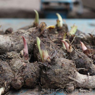 芋头种子 荔浦芋头种子 蔬菜芋头种子 新鲜芋头种子产地直销
