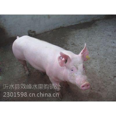 哪里有大型养殖场 猪场销售山东肥猪