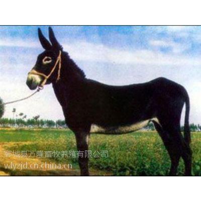 嘉祥肉驴养殖|万隆牧业(图)|肉驴养殖条件