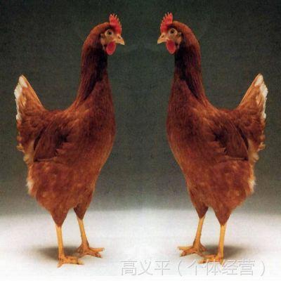 (海安特产 物美价廉)常年批发罗曼褐壳蛋鸡(又名罗斯鸡)