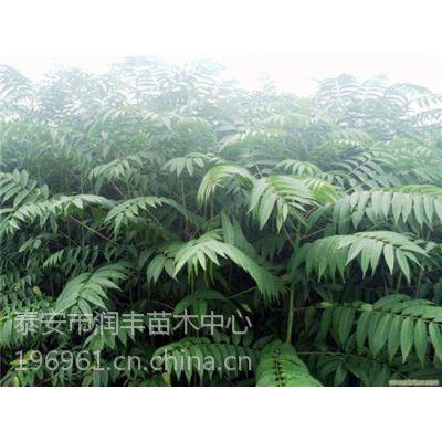 香椿树苗价格,湖南香椿树苗,润丰苗木