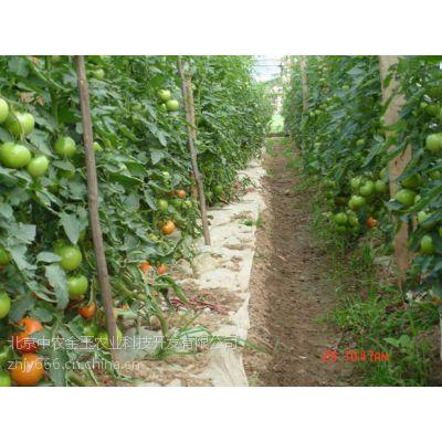 荷兰进口欧冠302-耐高温番茄种子