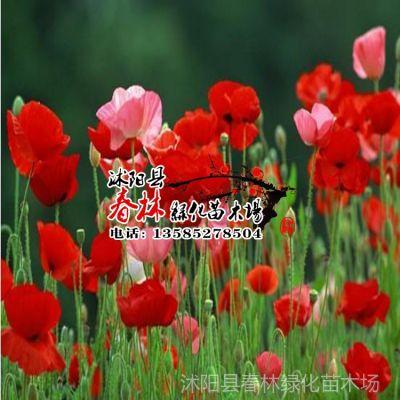供应批发进口澳大利亚 草花种子 虞美人种子 又名丽春花种子 包芽率