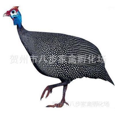 珍珠鸡苗 珍珠鸡  长期供应各种鸡苗鸭苗鹅苗等批发  质量保证