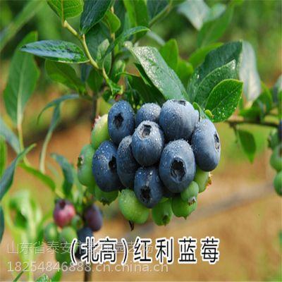 蓝莓 各种蓝莓苗 高产蓝莓苗好吃的 泰东园艺场