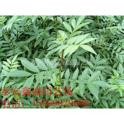 供应花椒苗|优质花椒苗|花椒苗基地|