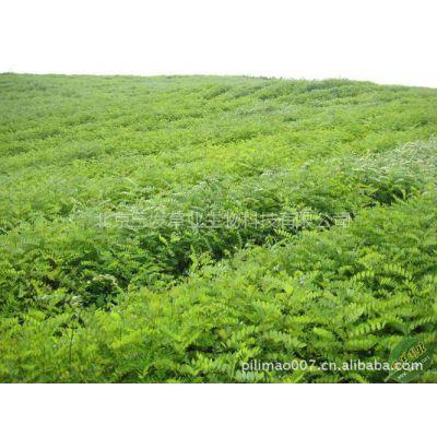 常年供应 优质工程绿化苗木  金叶榆 榆树苗木