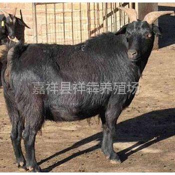 供应哪里的黑山羊便宜就到祥犇养殖场