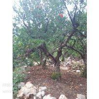 枣庄峄城石榴树基地批发供应1-50公分的石榴树价格低廉