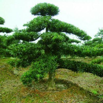 批发供应常绿乔木罗汉松供应常绿乔木罗汉松 自产自销 基地种植 量大优惠