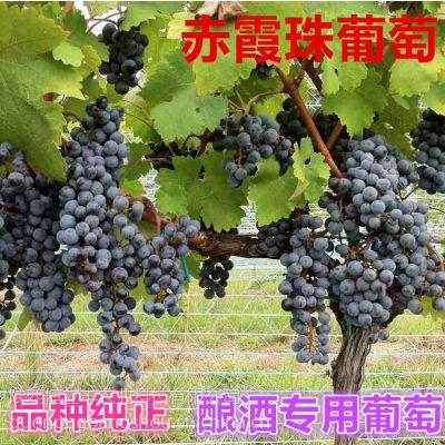 现货批发纯正维多利亚葡萄苗 南北方种植葡萄苗 根系好 成活率高