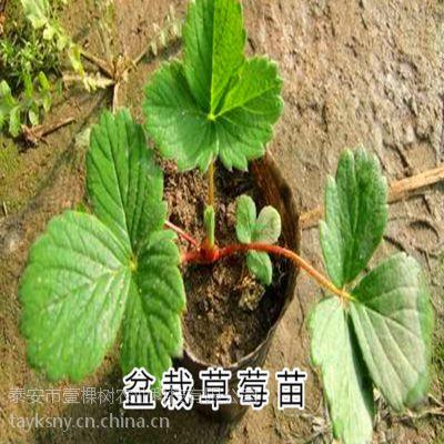 壹棵树农业供应甜查理草莓苗种苗 数量大 无病虫害 成活率高