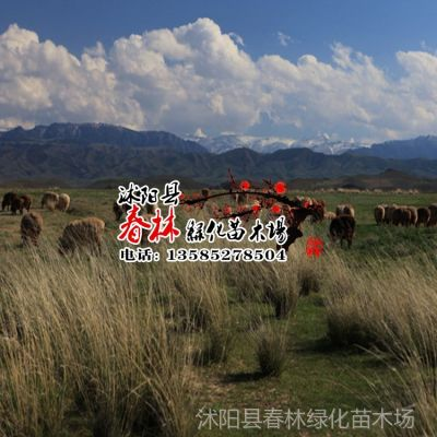 供应厂家直销花卉种子 景观绿化种子 牧草种子 远东芨芨草种子