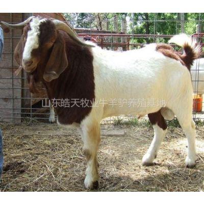 供应山东哪里养殖波尔山羊的多,波尔山羊市场活羊价格