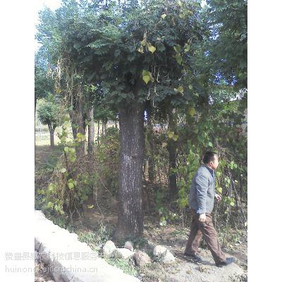 供应绿化苗木、质优价廉
