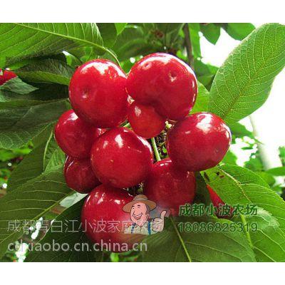 供应美早大樱桃苗 多品种大樱桃苗幼苗出售 供应优质车厘子苗
