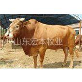 供应l鲁西黄牛厂家出售|鲁西黄牛宜管理