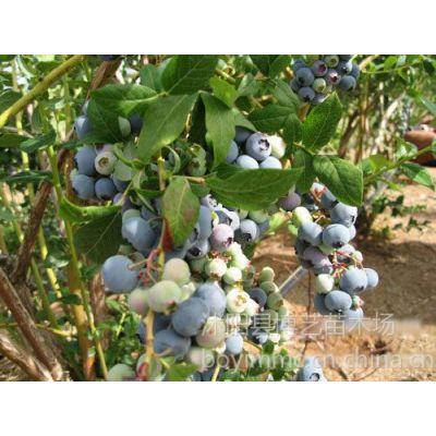 供应投资的果树品种之一 蓝莓苗蓝莓树苗蓝莓苗价格
