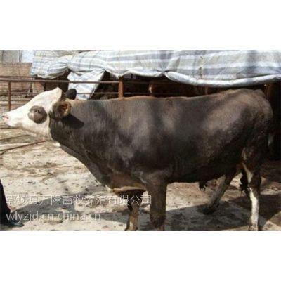 夏洛莱牛去哪买、夏洛莱牛、万隆牧业(在线咨询)