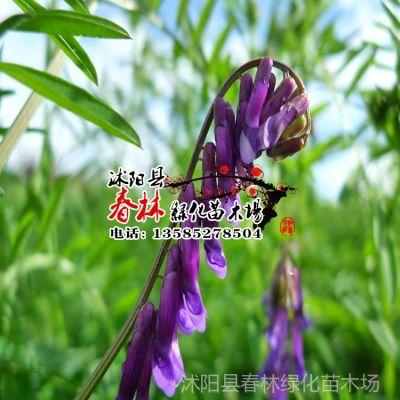 供应批发进口牧草种子  牧草绿肥 毛苕 稀毛苕子光叶紫花苕种子包发芽